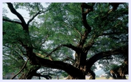 big-banyan-tree01